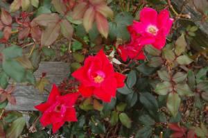 rose landscaping
